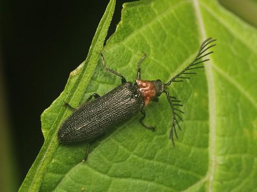 ムネアカクシヒゲムシ