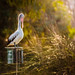 Preening Pelican, in late afternoon light by MazzaPix