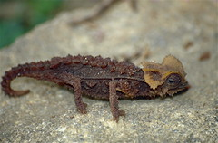 Antsingy Leaf Chameleon (Brookesia perarmata) (captive specimen)