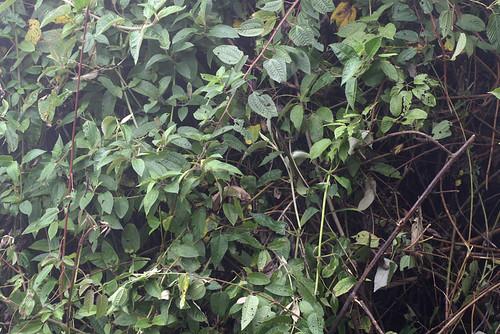 <i>Gastrotheca plumbea</i> Rana marsupial plomiza. Microhabitat