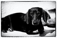 dog breed, animal, hound, dog, pet, mammal, monochrome photography, dachshund, monochrome, illustration, black-and-white, black,