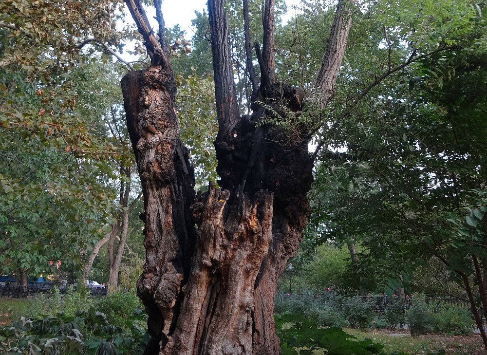 Gnarled Black Locust Burned2