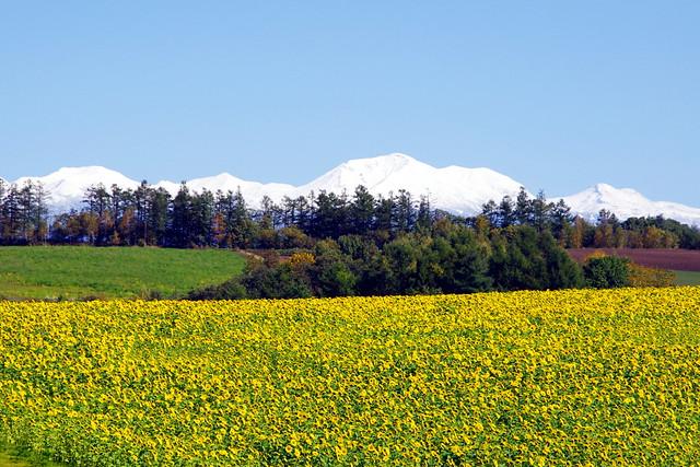 雪山と向日葵畑3