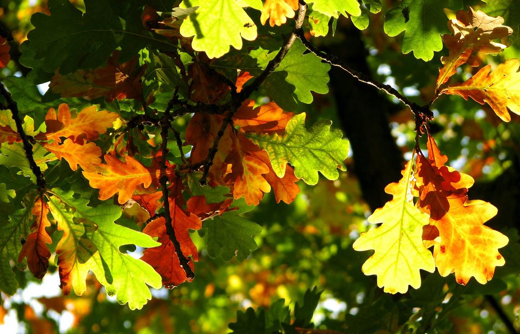 12. Hojas de roble durante el otoño. Autor, Mr Porse