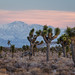 Sunset Over Joshua Trees in Death Valley by Jeffrey Sullivan