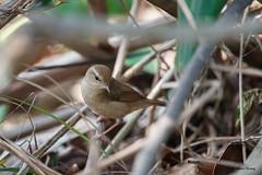 04日本樹鶯