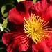 Red Camellia Flowers - 5