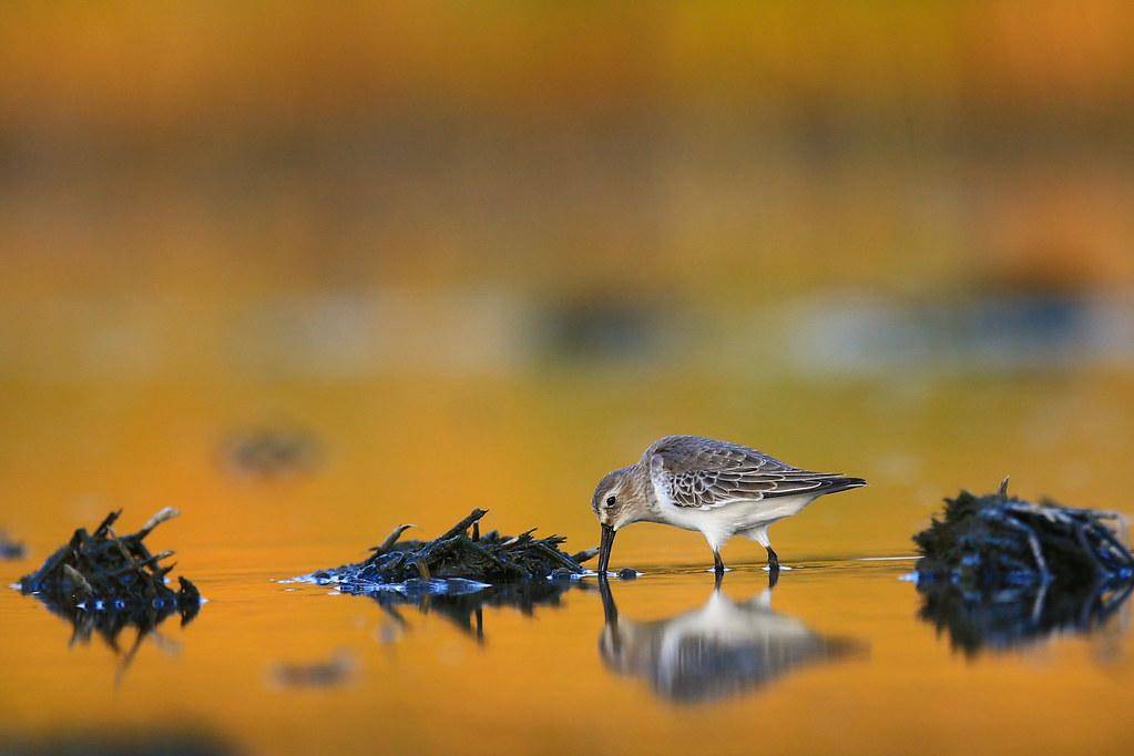 竹南水鳥-0597