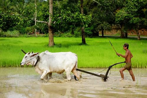 Rice cultivation at Angkor