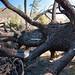 Fallen Pine by scloopy