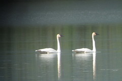 Trumpeter Swans, 6/16/2013, Pickhandle Lake, Yukon