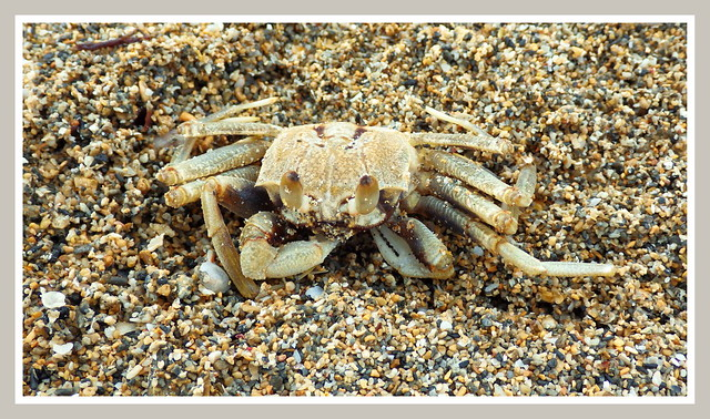 SAND CRAB ON WHITE SAND | Flickr - Photo Sharing!