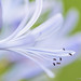 Agapanthus by Thelma Gatuzzo (away)