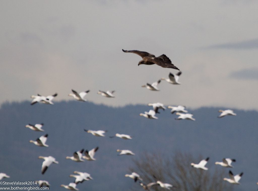Bald Eagle scaring Snow Geese