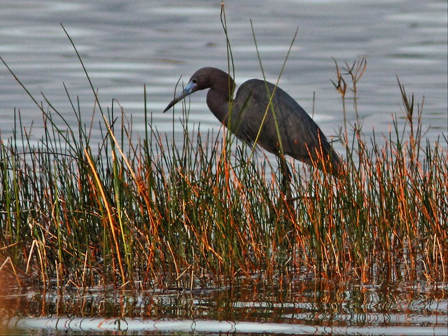 Little Blue Heron 20140320