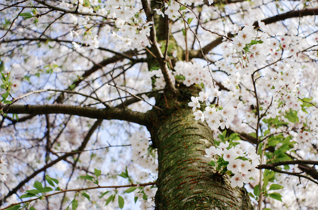 Cherry Blossom in Westerpark, Amsterdam