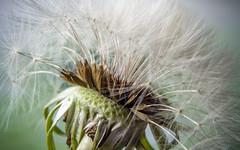 Pissenlit (Dandelion)