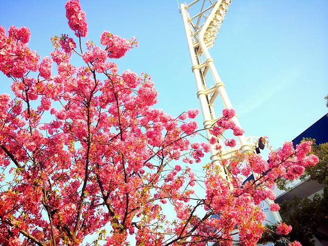 ハマスタの桜