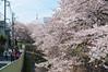 Photo:花見散歩 By kawamura shin