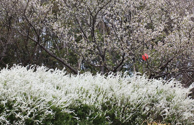Photo:Thunberg's meadowsweet / Spiraea thunbergii / 雪柳(ユキヤナギ) By:TANAKA Juuyoh (田中十洋)