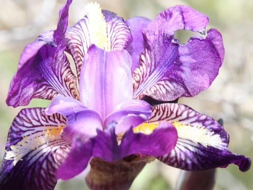 fleur, iris sauvage, dans les calanques de Marseille