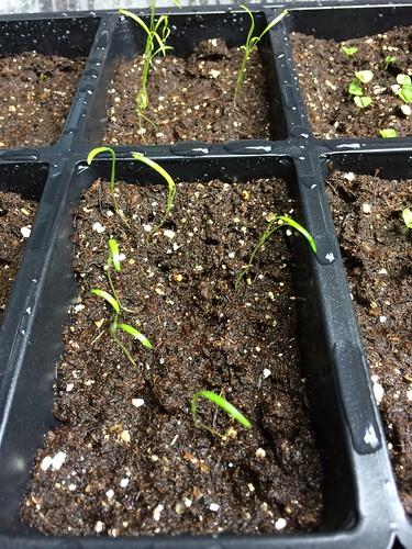 Carrot seedlings 2014-05-18