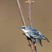 Cerulean Warbler CY9C9486 by BobLewis