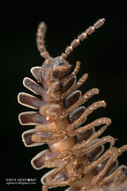 Flat-backed Millipede (Platyrhacidae) - DSC_4747