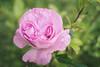 Pink Rose by KiwiMiriam