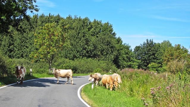 Rindvieh auf der Straße