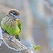 White-cheeked Barbet by Anuj Nair