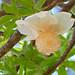 Small photo of Baobab (Adansonia digitata) flower