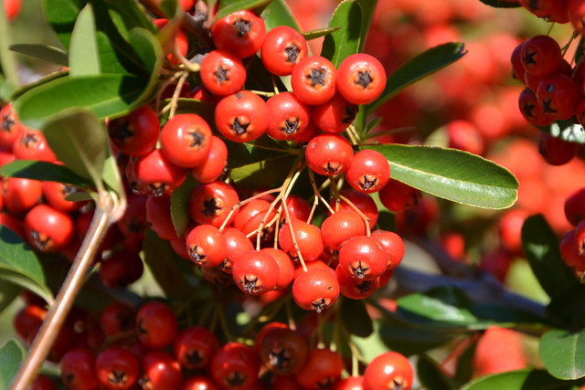 Pyracantha coccinea - buisson ardent 32940689070_d1bac72620_z
