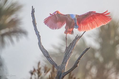 action background bird flight florida fog orlandowetlands spoonbill sunrise wildlife christmas unitedstates us