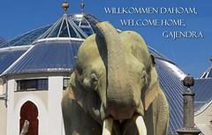 Asiatischer Elefantenbulle GAJENDRA