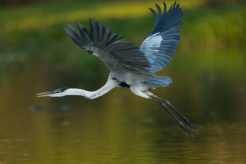 Cocoi Heron just after take-off