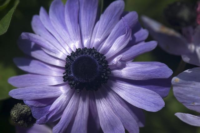 Blue Anemone Flower | Flickr - Photo Sharing!