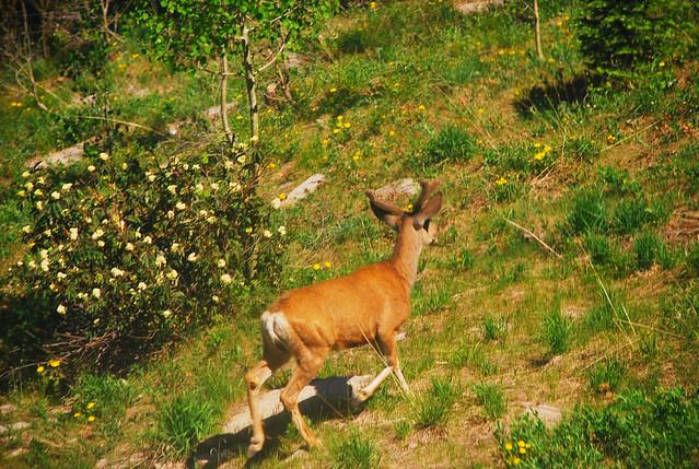 Baby elk/deer