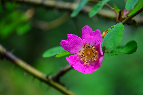 <p><i>Rosa gymnocarpa</i>, Rosaceae<br /> Whippoorwill Point, Harrison Hot Springs, British Columbia, Canada<br /> Nikon D5100, 18-55 mm f/3.5-5.6<br /> June 9, 2013</p>