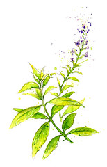 Edible Plants: Lemon Verbena