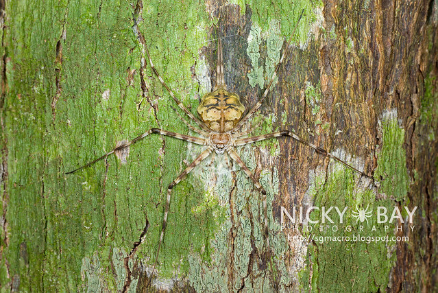 Two-Tailed Spider (Hersiliidae) - DSC_7212