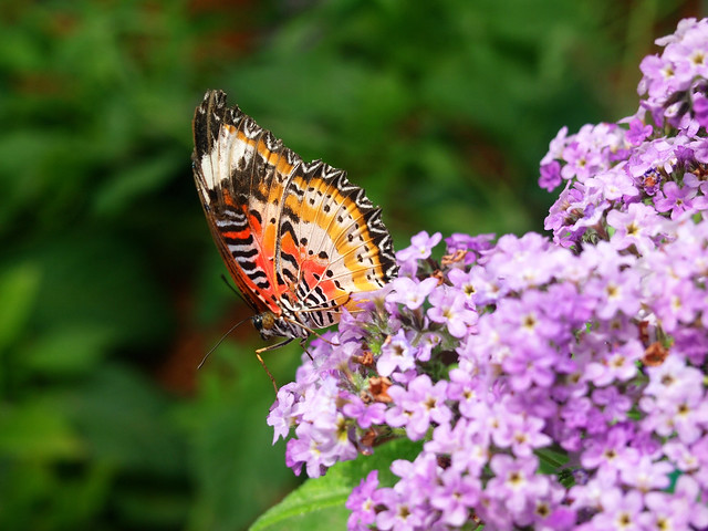 Put-in-Bay butterfly house