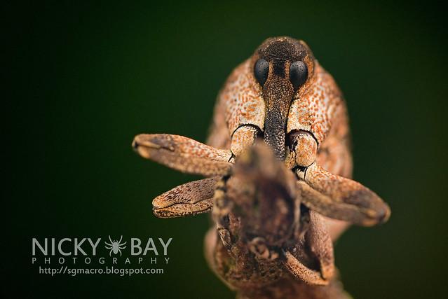 Weevil (Curculionidae) - DSC_0526