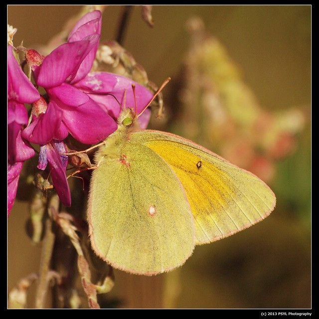 Sulphur butterfly (Colias sp.)