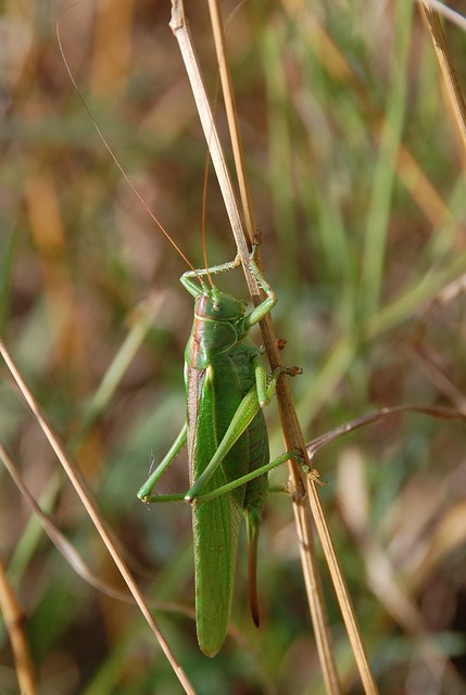 Female Great Green Bush Cricket