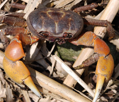 毛足圓軸蟹(圖片攝影:鄭漢文)