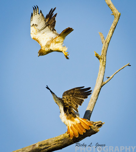 Twin Red-Tailed Hawks by Ricky L. Jones Photography