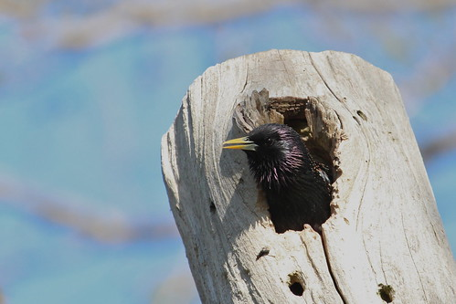 Starling in a hole by ricmcarthur