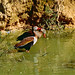 Black-bellied Whistling Ducks (Dendrocygna autumnalis) ©berniedup