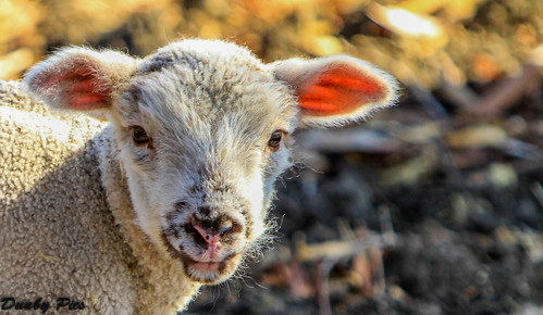 animal sheep farm petaluma